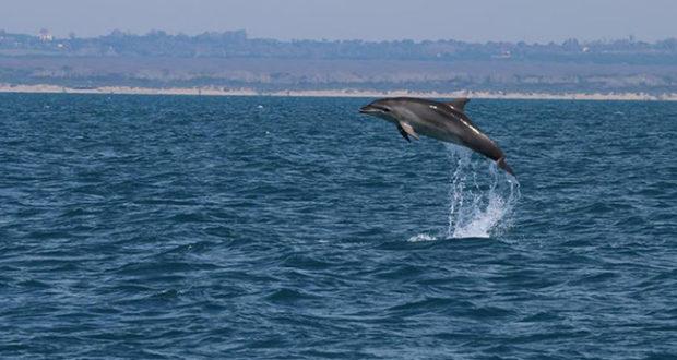 Delfini Capitoloni